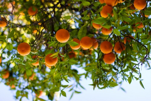 Newswise: The Pressure is on to Eradicate Deadly Organism Affecting Citrus Crops Worldwide