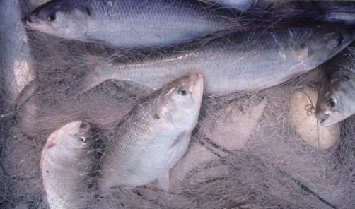 Newswise: Fish Populations Reveal 'Shocking' Declines
