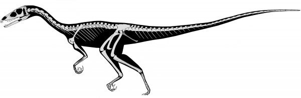 Skeletal reconstruction of the new carnivorous dinosaur, Tawa hallae.