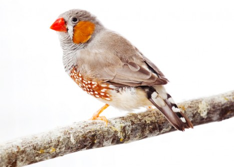 Newswise: Tweet: Scientists Decode Songbird's Genome