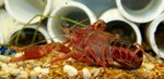 Eating raw crayfish can result in a dangerous lung worm infection.