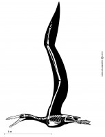 Skeletal and silhouette reconstruction of <I>Pelagornis chilensis</I> in flight as viewed from the left side