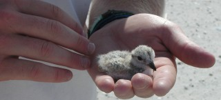 This piping plover chick, held by Jed Hayden of Virginia Tech's College of Natural Resources and Environment, will soon be ready to fledge.