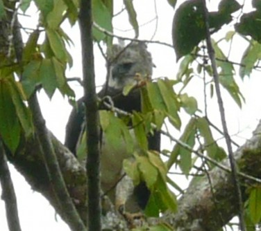 Newswise: Researchers Find Active Harpy Eagle Nest in Maya Mountains of Belize