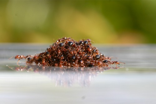 Newswise: How Fire Ants Build Waterproof Rafts
