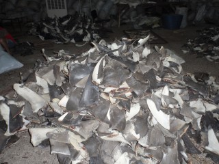 An assortment of dried shark fins in the process of being shipped from Fiji to Hong Kong. Tens of millions of fins are exported from nations around the globe...