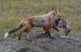A red fox captures and kills a smaller arctic fox in northern Alaska.  Warming temperatures have allowed red foxes to expand their range, making this a more...