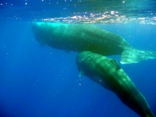 "Two members of ""the best studied social unit of sperm whales in the world,"" Mother ""Fingers"" and her baby ""Thumb,"" swim together off the coast..."