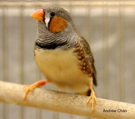 UMass Amherst and UCLA researchers developed a microdialysis probe to conduct in vivo real-time testing in the forebrains of active, alert zebra finches.