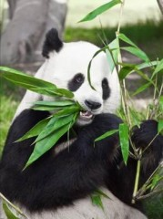 Panda poop contains bacteria that could help produce cheaper, more abundant biofuels.