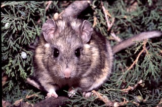 A Stephen's woodrat surrounded by its favorite food: toxic juniper. This rat species has evolved liver enzymes to get rid of the toxins. Another