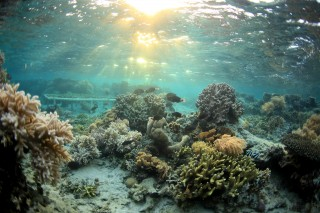 Healthy corals in the Votua Marine Protected Area of the Fiji Islands are shown in this photo.  Georgia Tech researchers are studying chemicals produced...