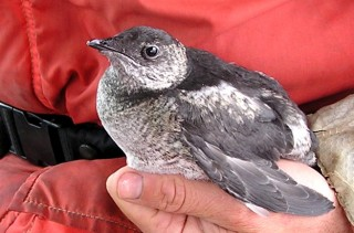 The critically endangered Kittlitz's murrelet (Brachyramphus brevirostris), which is not on the ESA protection list.