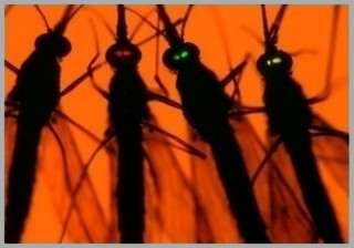 At left is a normal mosquito from the wild. The three mosquitoes to the right, with glowing eyes, are from three strains genetically engineered to better...