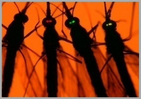 Newswise: Scientists Engineer Mosquito Immune System to Block Malaria