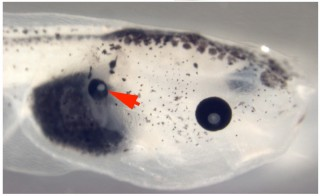 Manipulation of voltage of embryonic frog cells located in midsection of the tadpole caused the cell to develop into a working eye.