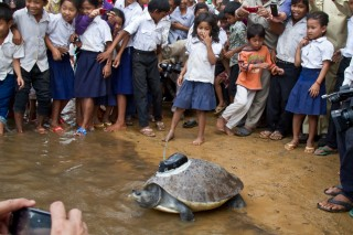 A female Souther River terrapin is released into the wild along the banks of the Sre Ambel River in Cambodia at a ceremony on Monday, January 16, 2012.