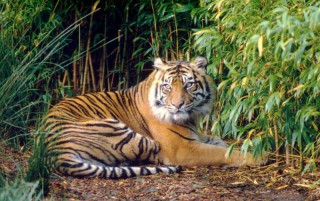 The study is the first of its kind to systematically investigate the Sumatran tiger's use of different land cover types for habitat.