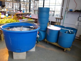 A small-scale aquaponics demonstration lab at UMass Amherst. Such recirculating aquaculture systems include various water treatment devices connected through...