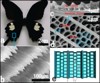 Nanostructures on butterfly wings make them extremely black and help researchers collect sunlight to make hydrogen gas from water.