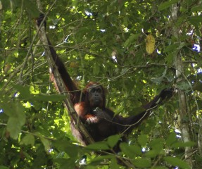Jenny, a wild orangutan about 32 years old and living in north Borneo (pictured here) and her 11-year-old son Etin were subjects in the study looking at the stress...