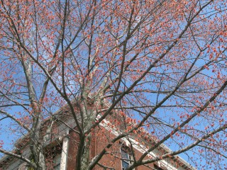 A red maple produces flowers unusually early   on the campus of the SUNY College of Environmental Science and Forestry in Syracuse, N.Y.