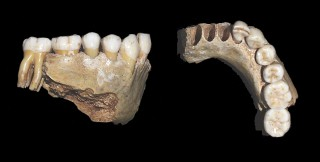 A Neandertal mandible from Valdegoba, Spain, that yielded the DNA sequence researchers used to determine that Western European Neandertals were on the verge...