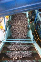 Anchoveta (fish in anchovy family) in a Peru processing plant