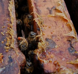 When faced with pathogenic fungi, bees line their hives with more propolis - the waxy, yellow substance seen here.