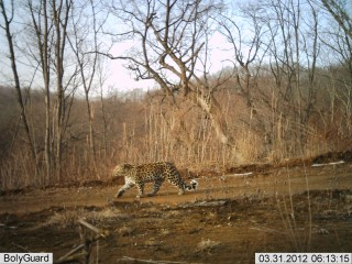 The first know camera trap photo of an Amur leopard in China.