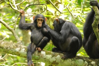 Chimpanzee populations have remained relatively stable in protected areas but have been lost outside of parks as forests have been cleared.