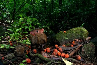 An agouti with orange fruit from black palm tree, which contains large seeds.