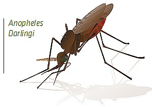 Illustration of Anopheles darlingi.