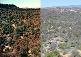 Pinyon pine forests near Los Alamos, N.M., had already begun to turn brown from drought stress in the image at left, in 2002, and another photo taken in 2004...