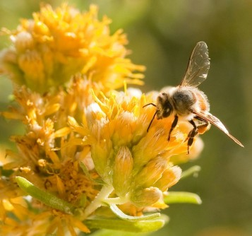 "Newswise: Scientists Discover Bees Can ""Turn Back Time,"" Reverse Brain Aging"