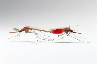 Mating of some disease-carrying mosquitoes would not result in births if scientists can disable the male's mating plug.