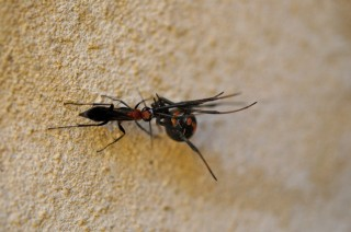A redback spider-hunting wasp <i>(Agenioideus nigricornis)</i> dragging its paralyzed prey back to its nest.