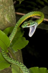 A parrot snake, one of at least 50 species of snake in Madidi National Park.