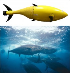 BIOSwimmer™ and its inspiration.  The tuna has a natural body framework ideal for unmanned underwater vehicles (UUVs), solving some of the propulsion...