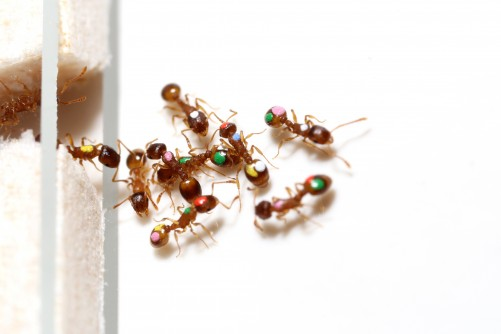 Newswise: New Research Shows Ants Share Decision-Making, Lessen Vulnerability to 'Information Overload'