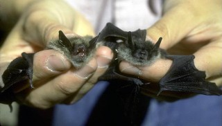 Researcher holds little brown bats.