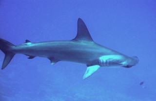 At the IUCN World Conservation Congress this week,  WCS and other groups are calling for more protection of  several shark and ray species, including hammerhead...