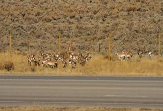 Pronghorn skiddishly wait to cross Highway 191 in Trapper's Point Wyoming in 2011