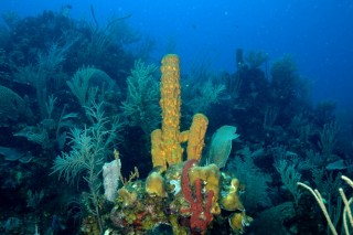 Coral reef biota including sponges, gorgonians and corals at 50 feet underwater at Promontory Point near Carrie Bow Cay Research Station, Belize, 2008.