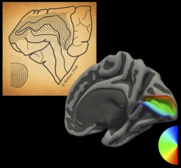 The modern map of the representation of vision in the brain is compared to the 1918 original
