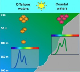 "Cells of the cyanobacteria Synechococcus are true ""chameleons of the sea,"" harvesting blue light offshore (orange cells) and green light in coastal waters..."