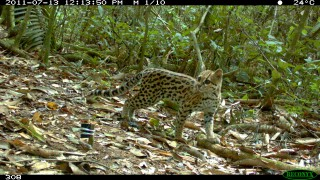 A photograph taken by Wildlife Conservation Society scientists of a little known Bolivian cat species called an oncilla has won a BBC Wildlife camera-trap...