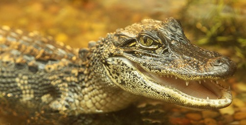 Newswise: Despite Their Thick Skins, Alligators and Crocodiles Are Surprisingly Touchy