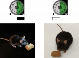 Mice with a broken clock in their fat get fat as they eat when they should be sleeping.