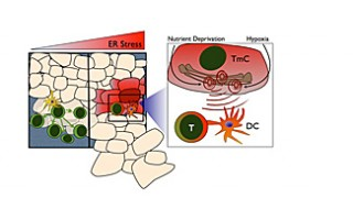The cartoon represents the consequences of tumor ER stress on components of the adaptive anti-tumor immune response.  Under ideal circumstances (left panel),...